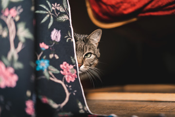 Domestic cat looking at camera hidden under a curtain with flowers designs