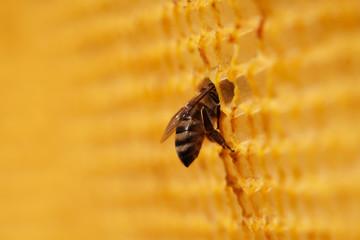 Closeup of bee in honeycomb