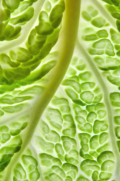 Natural background of green leaf lettuce with veins. Macro photo for your ideas