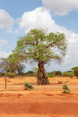 baobab tree in savannah ,kenya