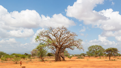 baobab tree in savannah ,kenya