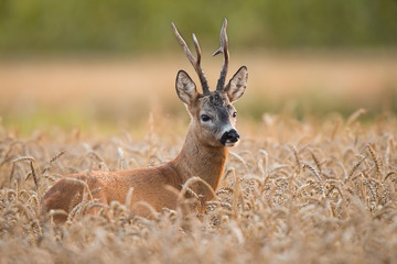 Foto op Aluminium Ree Roebuck - buck (Capreolus capreolus) Roe deer - goat