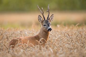 Tuinposter Ree Roebuck - buck (Capreolus capreolus) Roe deer - goat