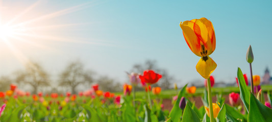 Foto auf Leinwand Pool Panoramic landscape of blooming tulips field illuminated in spring by the sun