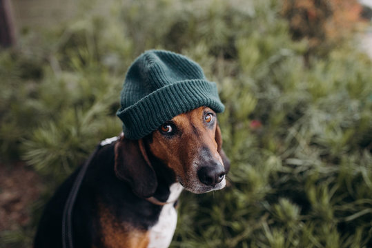 Dog dressed up in a human beanie