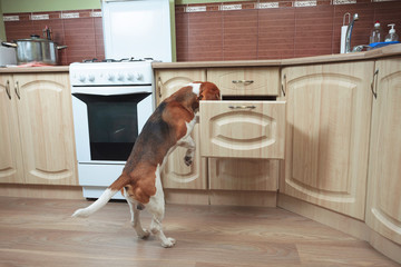 Beagle in kitchen searches for something tasty.