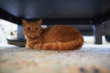 Adorable orange cat.