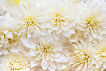 White dahlia flowers