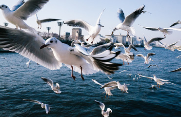 Hungry flock of seagulls flying over Sumida river in Tokyo