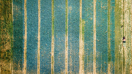 Aerial view of multicolored agricultural cabbage fields from drone Fotomurales