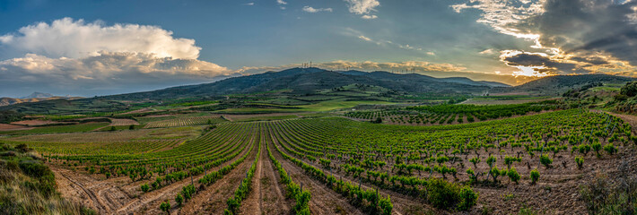 Photo sur Plexiglas Vignoble sunset in the vineyards vines in spring