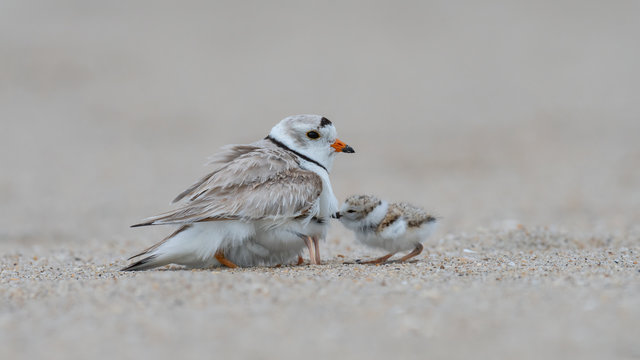 A Piping Plover provides shelter for her hatchlings.