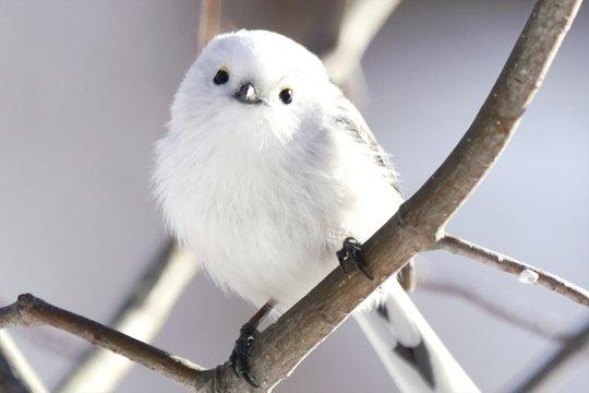 北海道に生息の可愛い野鳥