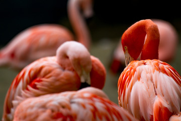 Foto auf Gartenposter Flamingo American flamingo (phoenicopterus ruber) watching with other flamingos in blurry background