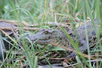 Garden Poster Crocodile Krokodil, Botswana Süd Afrika