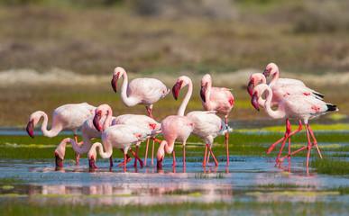 In de dag Flamingo group of pink flamingos wild in nature
