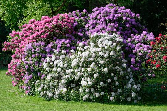 Rhododendrons de trois couleurs