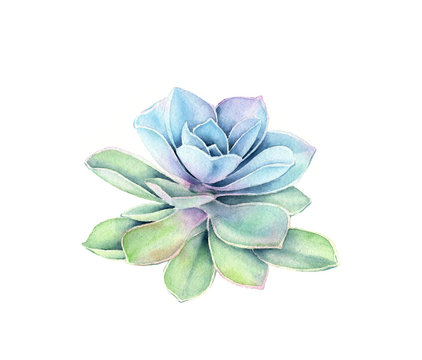 Watercolor succulent plant. Colourful tropical flower isolated on white. Botanical hand painted floral illustration for wedding design, cosmetics, advertising
