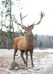 Keuken foto achterwand Bos in mist Red deer stag standing in the winter snow in Canada