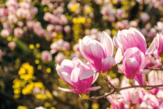 pink blossom of magnolia tree. big flowers on the twig on a sunny day. garden nature background. happy springtime mood. spring has sprung