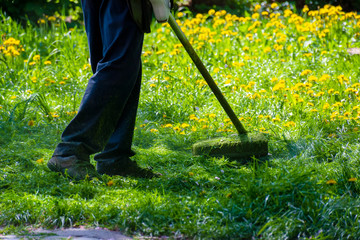 trimming dandelions and other weeds in the yard. an overgrown backyard clearing with brush cutter. springtime lawn care concept