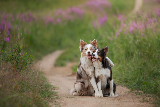 two dogs hugging together for a walk. Pets in nature. Cute border collie in a field in colors. St. Valentine's Day.