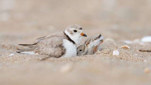 A hatchling Piping Plover seeks shelter under its mother.
