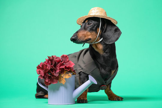 Close up portrait of cute black and tan dachshund in hat and dark green dress, with watering can and flowers. Gardening concept. On light green, turquoise background.