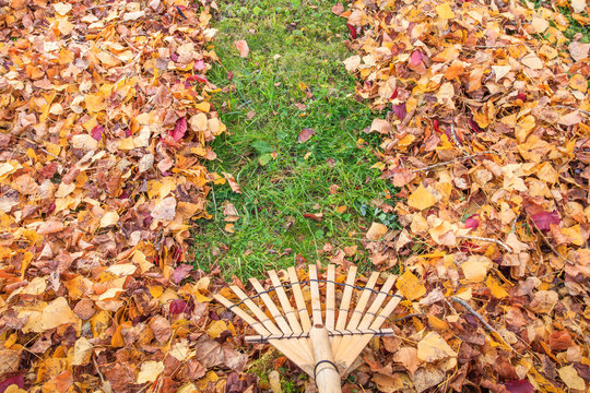 Raking fall leaves from lawn in autumn with a bamboo leaf rake. France