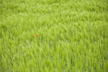 Eine einzelne Mohnblüte in einem grünen Weizenfeld