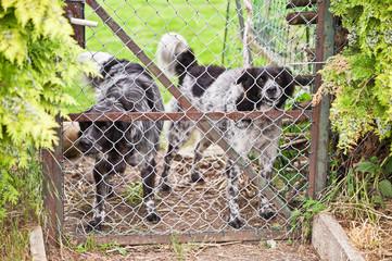 Zwei Wachhunde hinter einem Gartentor