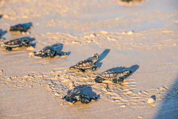 Photo sur Plexiglas Tortue Six sea turtle hatchlings going to the water