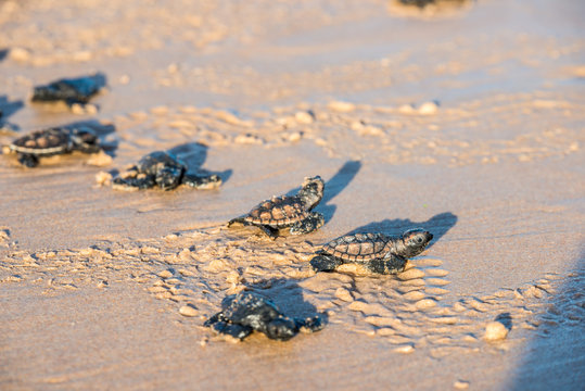 Six sea turtle hatchlings going to the water