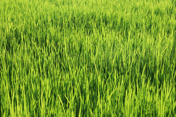 Foto auf Acrylglas Lime grun landscape field of green rice plantation