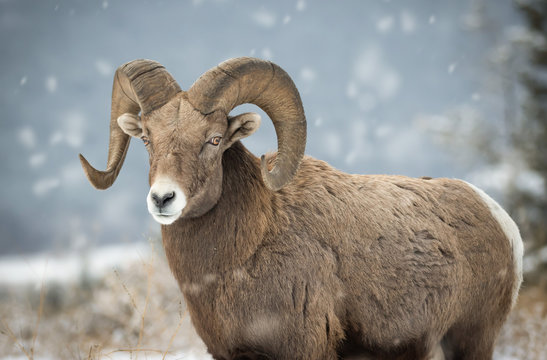 Bighorn sheep in British Columbia