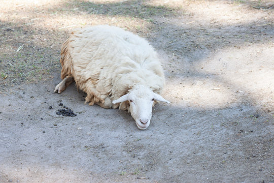 A sheep lying down on the grass and looking camera.