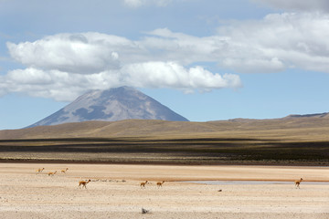 Vicunas (Vicugna vicugna) and Misti Volcano. Salinas y Aguada Blanca National Reserve, Peru.