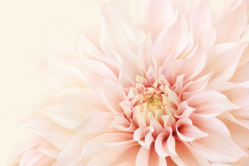 Poster Dahlia Summer blossoming delicate dahlia, blooming flowers festive background, pastel and soft bouquet floral card, selective focus, toned