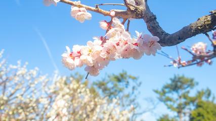 桜のアップの写真