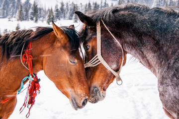 Horses in love in beautiful winter.