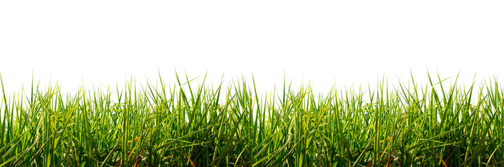 Tuinposter Gras Fresh spring green grass panorama isolated on white background.