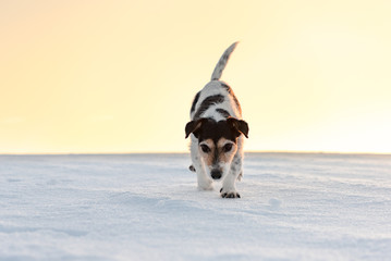 Small cute 9 years old frozen Jack Russell Terrier dog is going over a snowy meadow in winter.