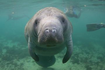 Florida Manatee Underwater with Snorkelers