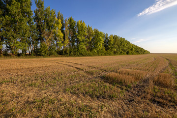 Wall Mural - Mown wheat field and forest belt in the background. Beauty nature, agriculture and seasonal harvest time. Scenic agricultural land.