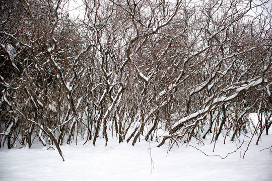 Staghorn Sumac trees in winter covered with snow