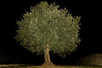 Fotobehang Olijfboom An olive tree that shines at night because its beauty is as if it were a talisman