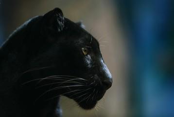 Black tiger in zoo