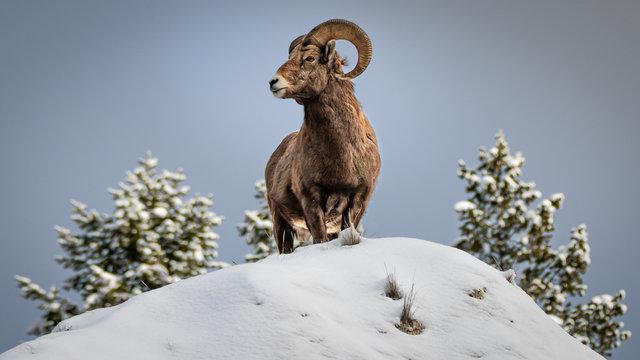 Bighorn sheep on top on a snow peak