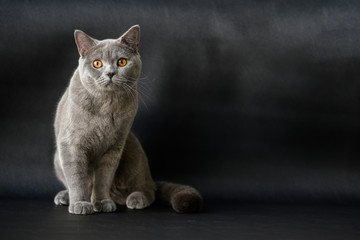 British shorthair breed, blue-gray color, orange eyes Sitting and resting on a black floor and was looking Is a beautiful cat and a good pedigree. Fotobehang