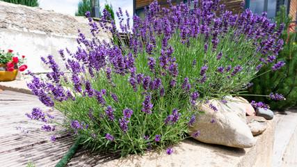 Photo sur Plexiglas Lavande Luxurious bushes of fragrant provence lavender bloom in a landscape design composition with boulders and pine
